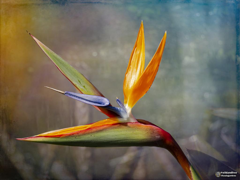 Bird of Paradise by koalagardens