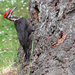 Pileated Woodpecker by seattlite