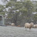 Sheep on a Snowy Day