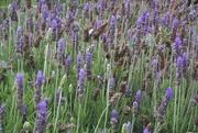 4th Aug 2020 - Lavender
