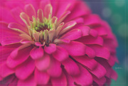 3rd Aug 2020 - Zinnia for Z