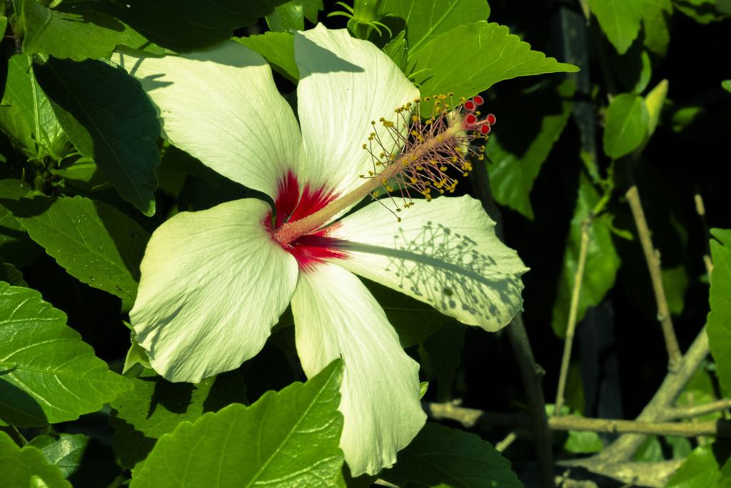 Hibiscus by mrslaloggie