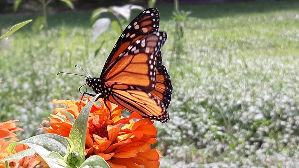 Monarch  by julie