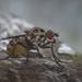 Teeny Tiny Spotty Fly