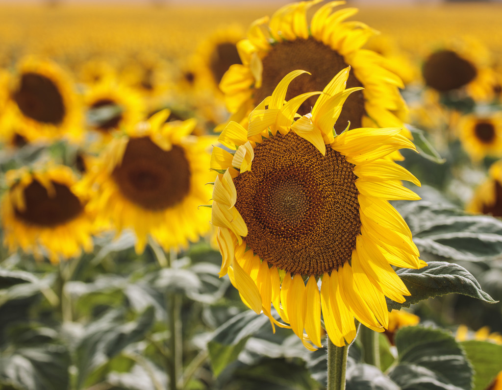 sunflower field by aecasey