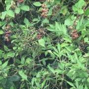 3rd Aug 2020 - there was a bird at the berries