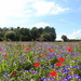 Convolvulus tricolor + Poppies