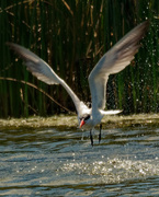 4th Aug 2020 - Caspian tern fishing