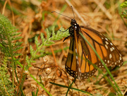 4th Aug 2020 - monarch butterfly