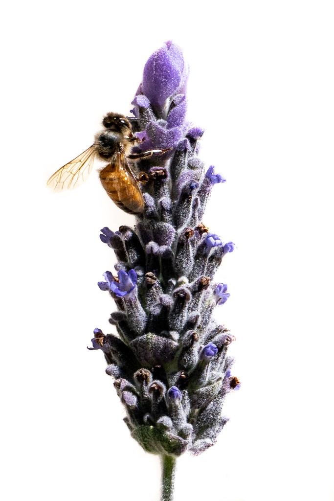 Bee  by sugarmuser