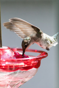 1st Aug 2020 - Hummingbird