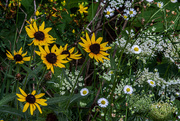 4th Aug 2020 - Wildflowers