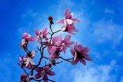 5th Aug 2020 - Pink magnolia
