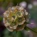 Starflower pincushion