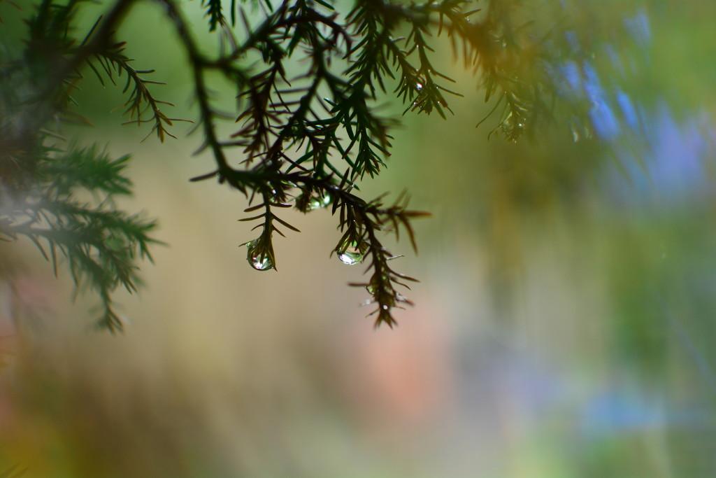 Pine needle raindrops........... by ziggy77