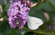 5th Aug 2020 - Green Veined White