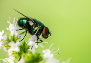 1st Aug 2020 - Just a fly