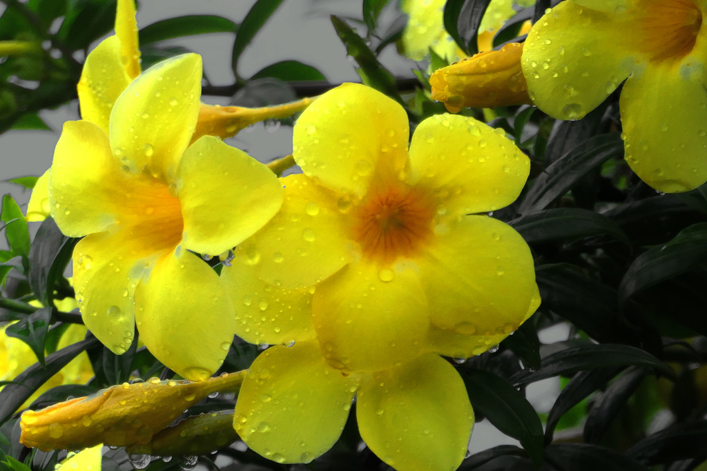 Yellow Bells after the rain by lilh