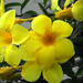 Yellow Bells after the rain