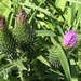 Stages of thistle