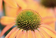 4th Aug 2020 - Cone Flower