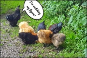 5th Aug 2020 - Couldn't resist taking a pic of these chickens all tucking in to breakfast today!