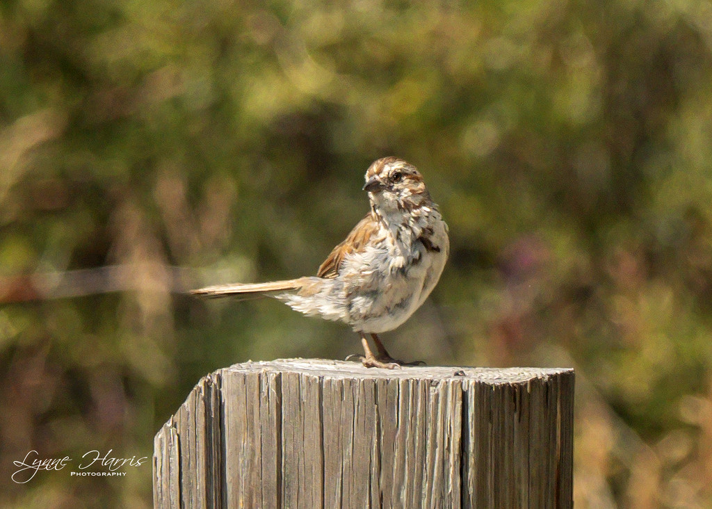 Song Sparrow (I think) by lynne5477