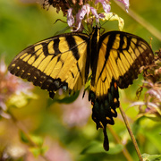 5th Aug 2020 - eastern tiger swallowtail
