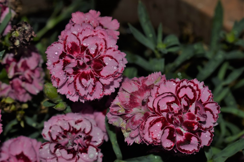 Dianthus in the rain by sandlily