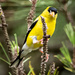 Goldfinch in the Pines