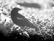 5th Aug 2020 - bye bye blackbird