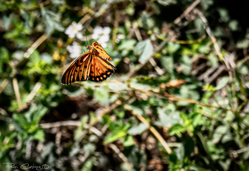 Monarch In Flight by stray_shooter