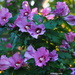 More Rose of Sharon