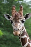 23rd Jul 2020 - Giraffe Headshot