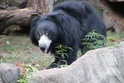27th Jul 2020 - Sloth Bear
