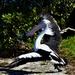 The Pelican Flamenco Dancer ~