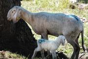 6th Aug 2020 - Newborn lamb