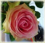 7th Aug 2020 - pink rose