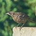 Today's Bird...Juvenile Crow?