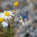 Wings Open - Acmon Blue