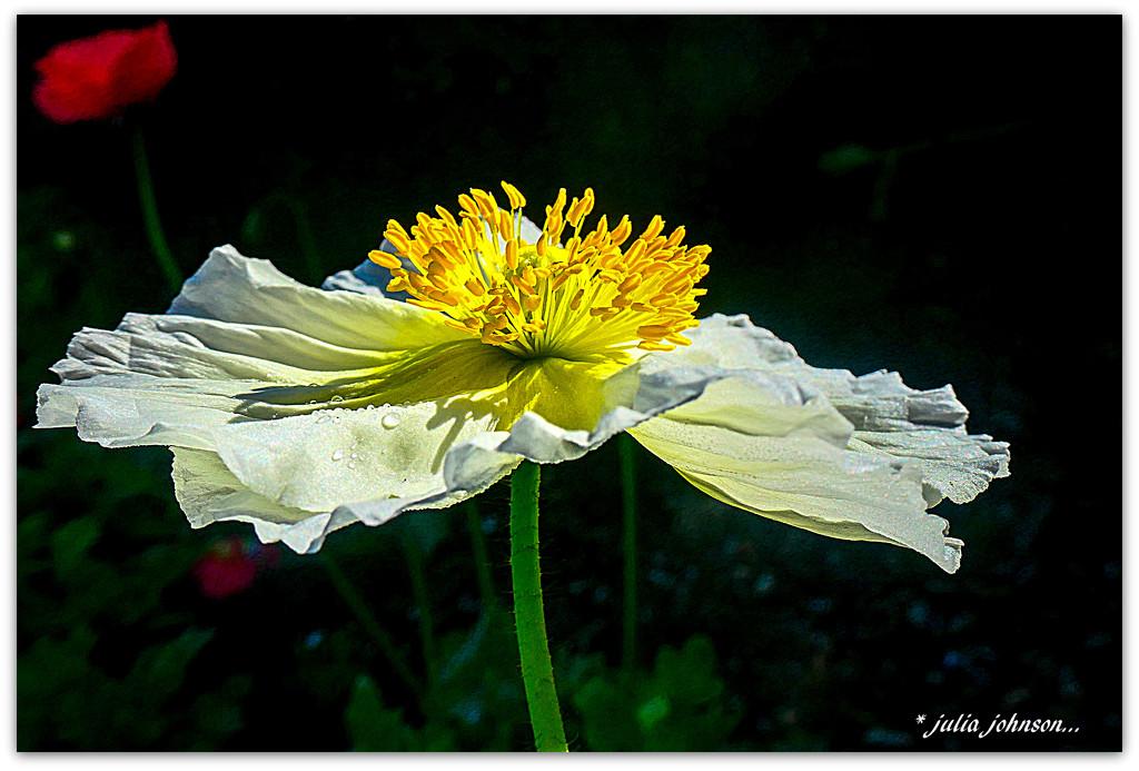 Pop of the Poppy.... by julzmaioro