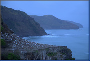 7th Aug 2020 - Gannets early morning