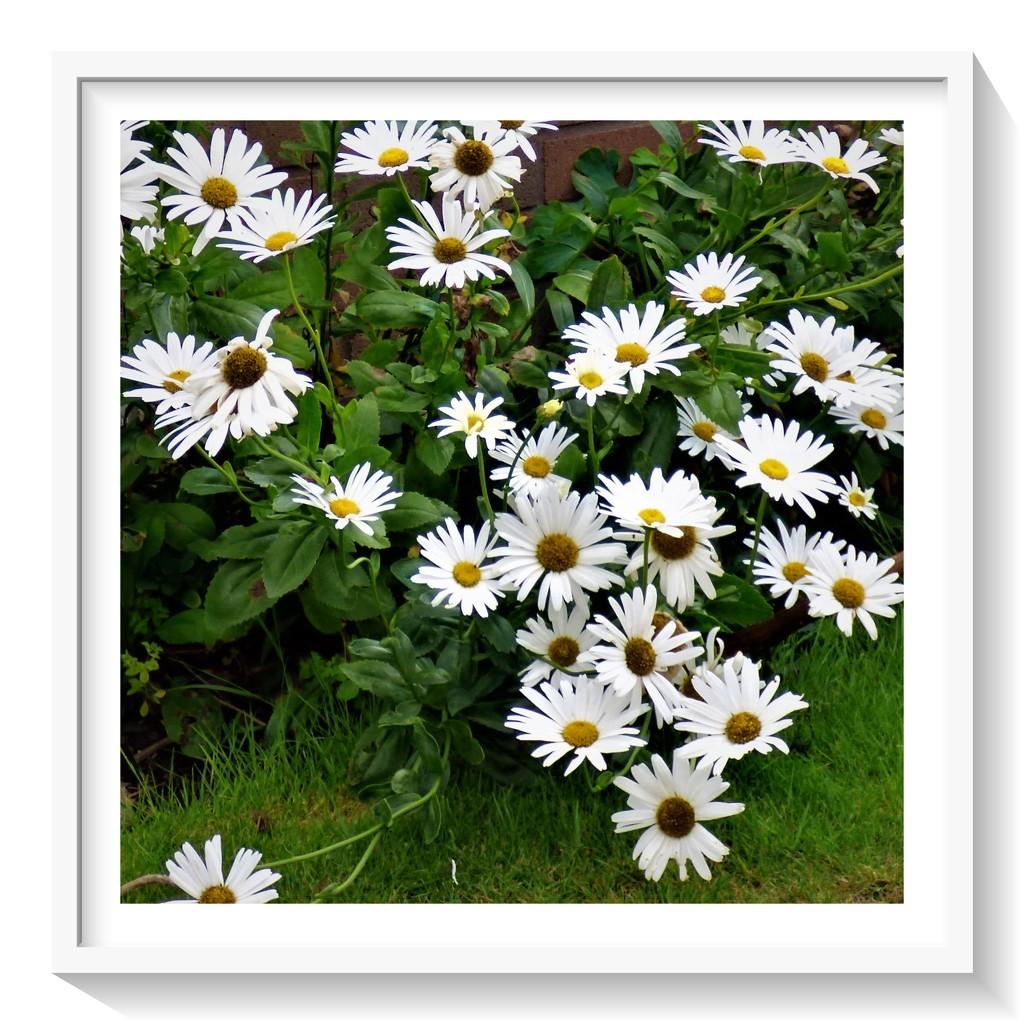 As fresh as a Daisy ! by beryl