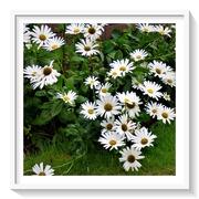 7th Aug 2020 - As fresh as a Daisy !