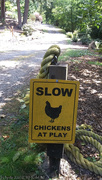 7th Aug 2020 - Chickens at play