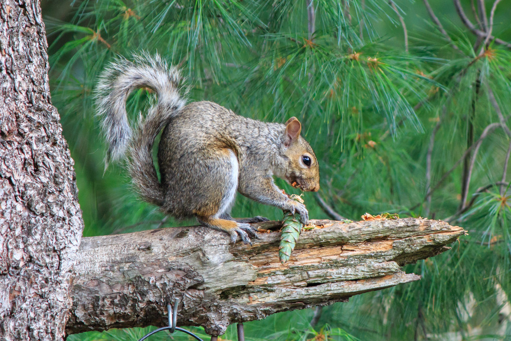 Squirrels eat pine cones? by batfish