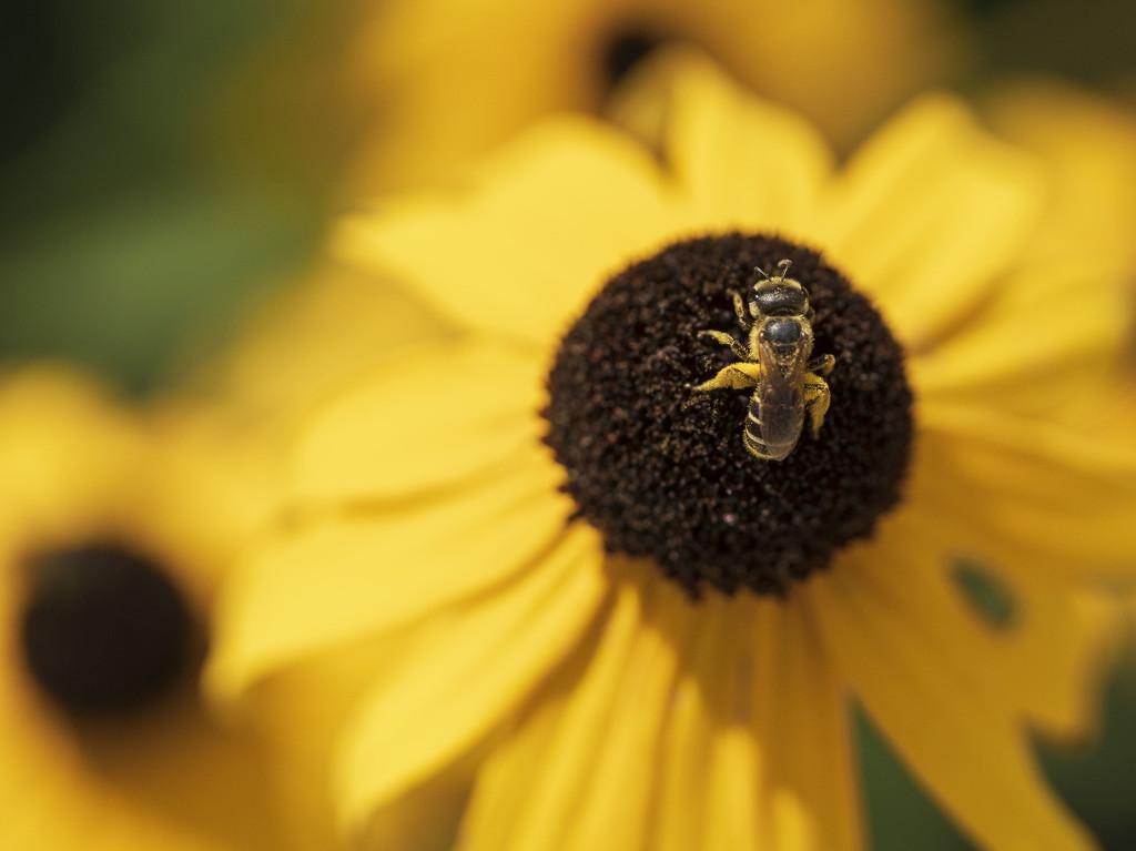 Small Sweat Bee by kvphoto
