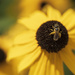 Small Sweat Bee