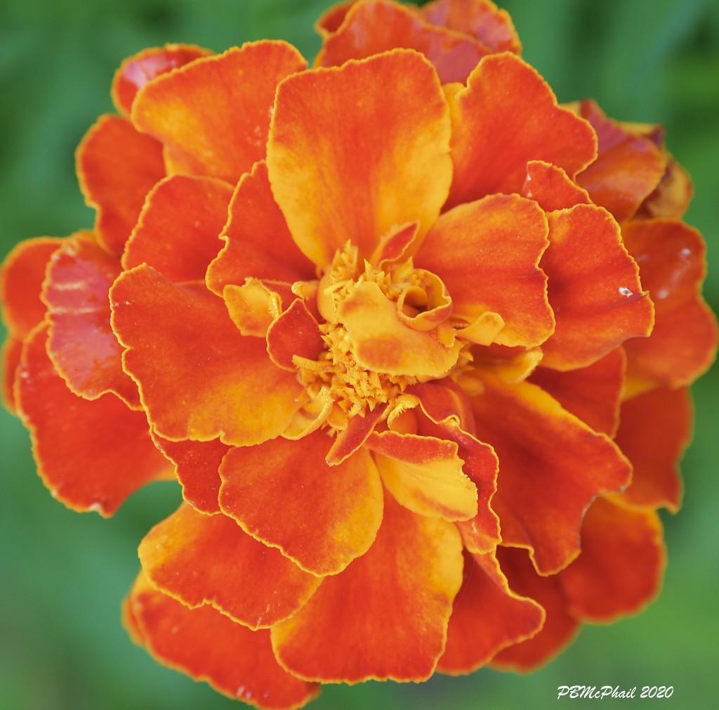 Marigold by selkie