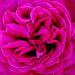 Birthday Boy Rose (Pentacon 50mm f1.8 vintage lens)